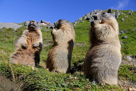 Three standing marmots in the mountains eat with their paws