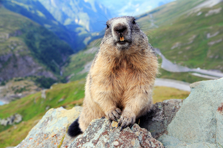 An Alpine marmot in the mountains shows its teeth
