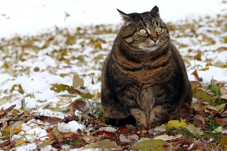 変な顔で少し太った猫 写真素材