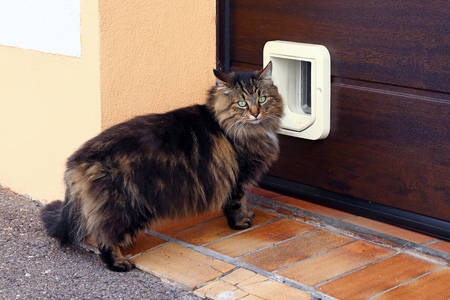 A Norwegian forest cat in front of a cat flap
