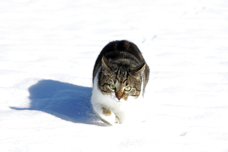 A little cat runs happily through the snow Stock Photo