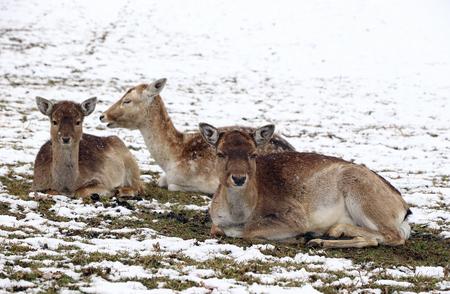 Female fallow deer with calves in winter. A herd of fallow deer