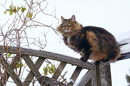 A beautiful brown-black Norwegian Forest Cat has climbed onto a fence Stock Photo