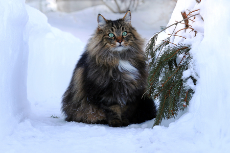 A Norwegian forest cat outdoors in the winter in the high snow
