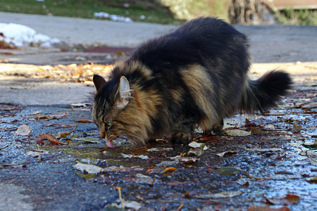 A Norwegian Forest Cat drinks from a puddle of rain. A cat drinks water
