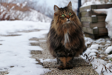 A pretty brown-black Norwegian Forest Cat on a footpath Фото со стока