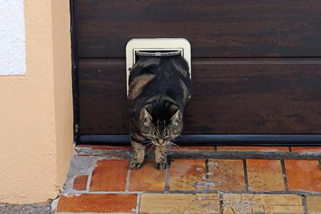 A fat cat squeezes through the cat flap. Thick pets have a hard time Banco de Imagens