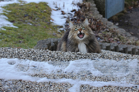 A snarling Norwegian Forest Cat. A Norwegian forest cat hunting. A cat shows her teeth