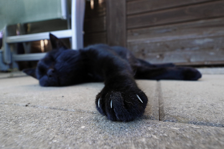 Wide angle shot of the paw with claws of a black cat