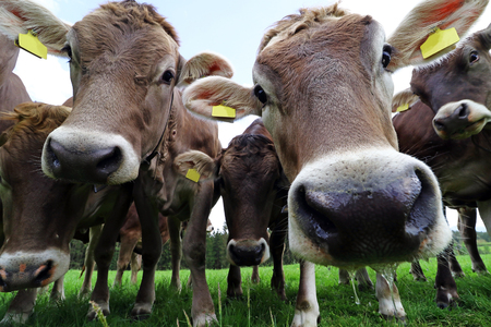 A herd of young brown cows stood curiously on a pasture