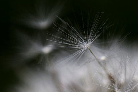 Close-up of a faded dandelion. Dandelion seed