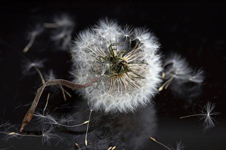 A faded dandelion on a black background Banque d'images - 100805728