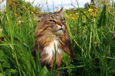 A Norwegian Forest Cat enjoys the sun in the high grass