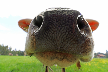 Wide angle view from the nose of a cow. Close-up of a cows nose Reklamní fotografie