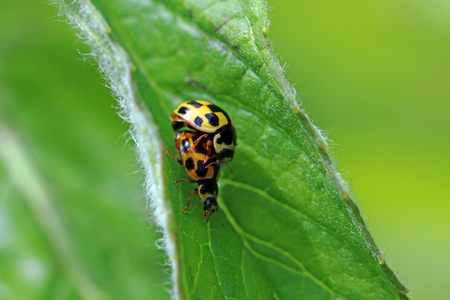 Two yellow-black chessboard ladybirds mating on one leaf
