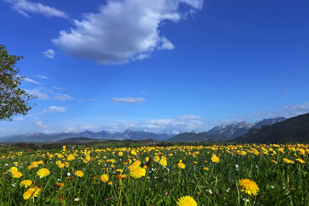 Dandelion blossom in spring off the Allg?u Alps in Bavaria