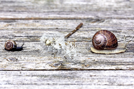 Two snakes and a faded dandelion on a wooden surface