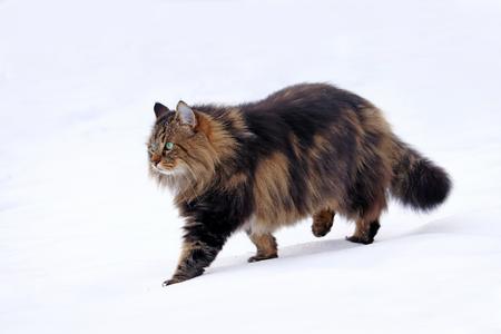 Eine hübsche junge Norwegische Waldkatze jagt im Schnee