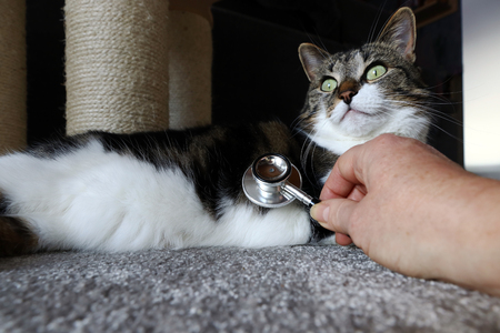 When the vet gets home. Veterinary examination of a cat during a home visit