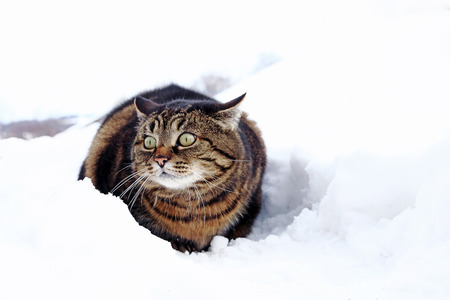 A small fat cat sits with a funny look in the snow