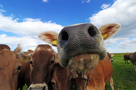 Curious brown cattle on a pasture in Bavaria. Curious cows