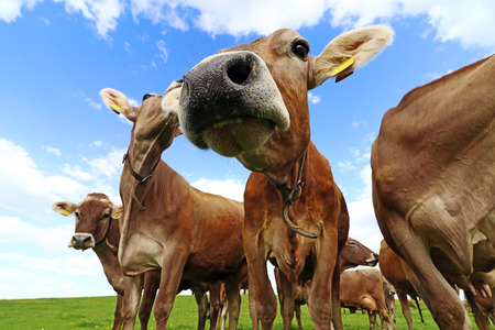 Curious brown cattle on a pasture in Bavaria. Curious cows Stock fotó