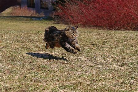 Eine norwegische Waldkatze rennt mit großen Sprüngen über die Frühlingswiese Running