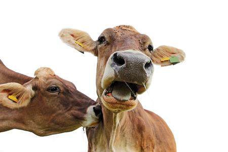 Lustiges Kuhfoto. Eine Kuh stopft eine andere Kuh und diese schreit Moo