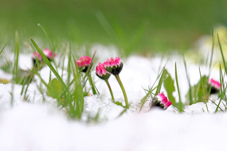 Daisies in the snow. Snowfall in spring Stok Fotoğraf