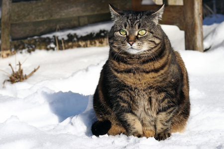 A  fat cat sits with a funny look in the snow