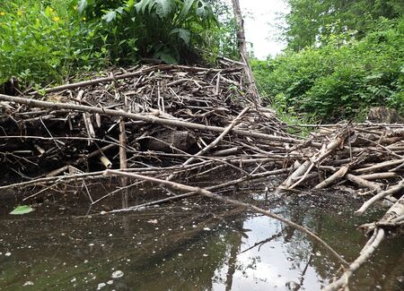 A dam built by beavers and beaver castle on a river