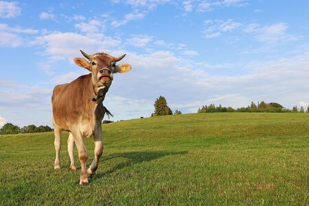 A pretty young brown dairy cow with horns and bell on a pasture in Bavaria. Brown cattle with horns can be dangerous.