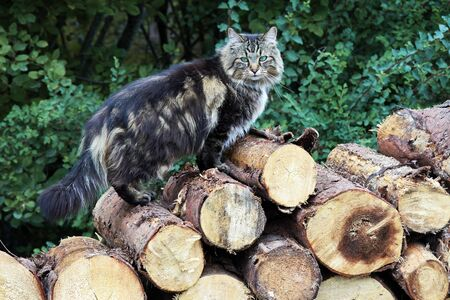 A Norwegian Forest Cat sits on a stack of firewood. Logs with cat
