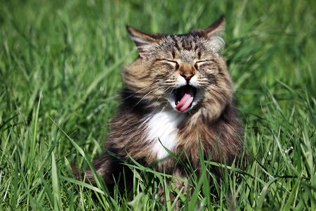 A small Norwegian forest cat sticks out with his mouth open