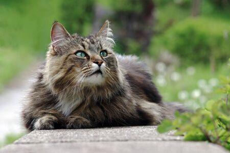 A pretty Norwegian Forest Cat has relaxed and curious on a garden wall