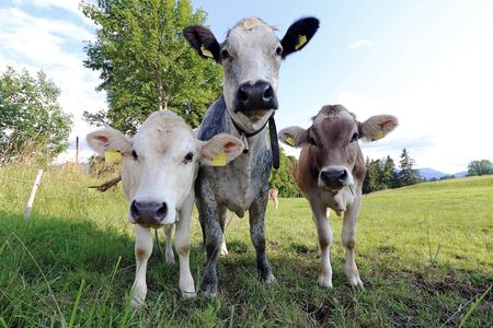 Three curious young cows on a meadow in Bavaria. White and brown cattle on a pasture