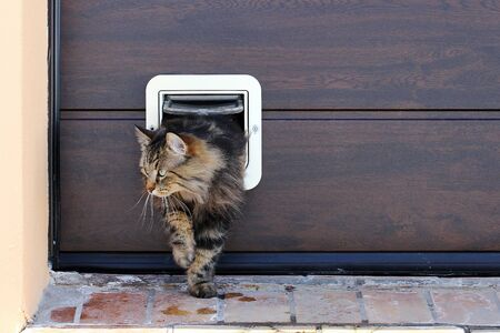 A cat goes through a cat flap. Norwegian Forest Cat in Front of a Cat Flap Reklamní fotografie