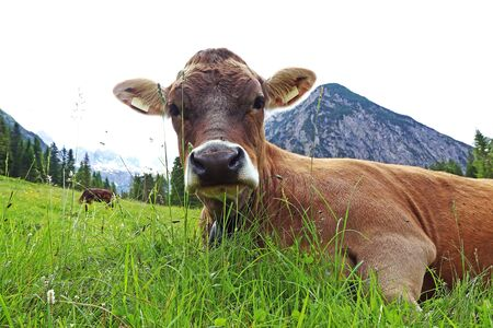 A relaxed young brown cattle in the mountains of Austria 스톡 콘텐츠