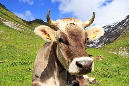A pretty young boy with horns in the mountains. A curious cow 스톡 콘텐츠