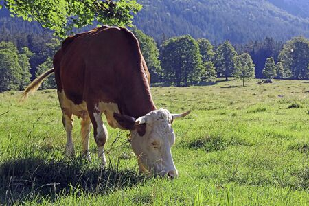 A Simmental cattle with horns in the mountains of Bavaria