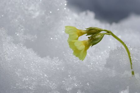 A yellow primrose in the snow. Snowfall in spring