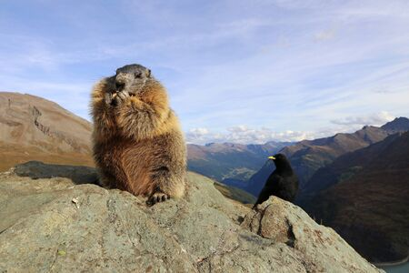 A marmot and an alpine chough together on a rock in the mountains of Austria