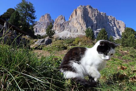 A little black and white cat in the mountains. A cat in the Dolomites Фото со стока