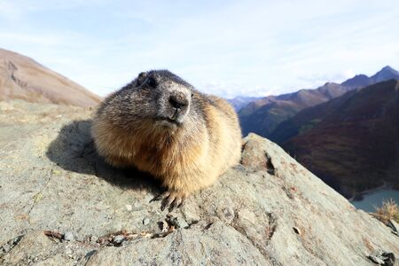 A marmot on a rock in the mountains of Austria