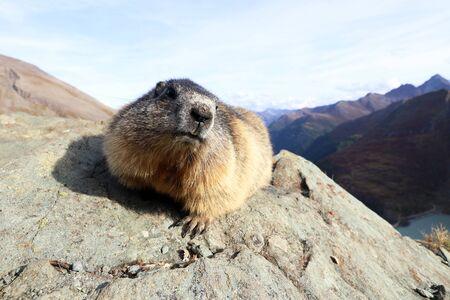 A marmot on a rock in the mountains of Austria Фото со стока - 132435714