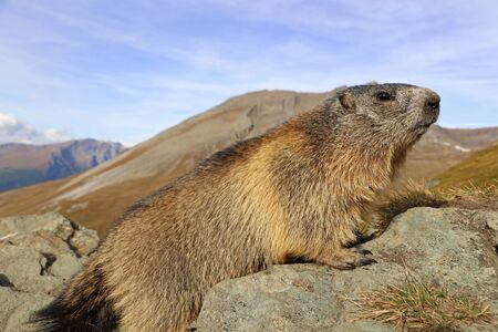 Close-up of a marmot in the high mountains of Austria
