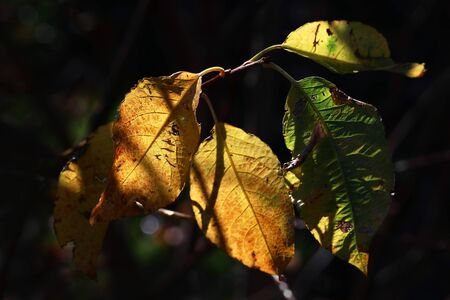 Yellow and green autumn leaves in the back light of the sun Фото со стока - 132829395