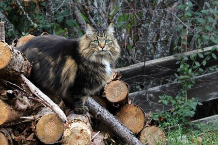 A pretty brown-black Norwegian Forest Cat on a wood pile Фото со стока - 132996950