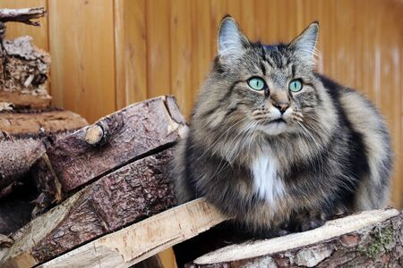 A pretty Norwegian Forest cat with turquoise eyes on a stack of wood Фото со стока - 134269851