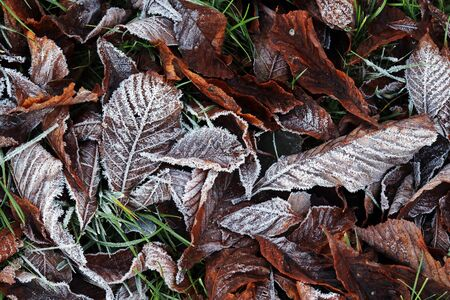 Frozen leaves on the ground. Ground frost in autumn and winter Фото со стока - 134270594